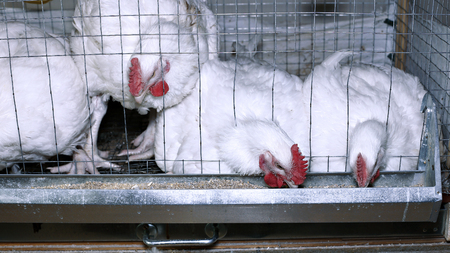 Few chickens eating combined feed in the cage on the farm Stock Photo