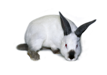 Little white rabbit of californian breed on white background Stock Photo