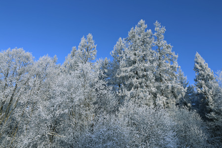 snowcovered: Landscape of snow-covered forest spruce and birch in Russia
