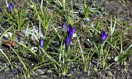 Violet flower of crocus in garden in early spring Stok Fotoğraf