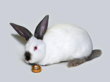 Little white rabbit of californian breed on white background Stok Fotoğraf