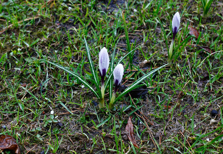 Many white crocuses in drops of water after rain