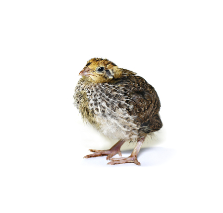 brooder: Small quail chick on a white background Stock Photo