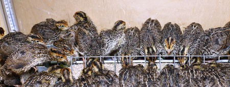 brooder: Many small quail chicks in brooder during feeding