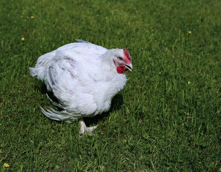 Broiler chicken walks on a green lawn Stok Fotoğraf