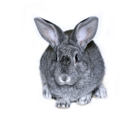 silver eared: Little rabbit breed of gray silver chinchilla on white background