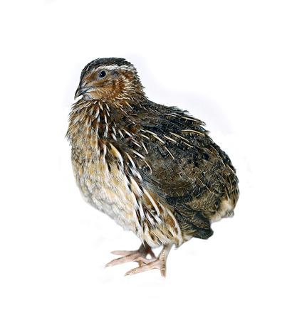 Motley big quail isolated on white background