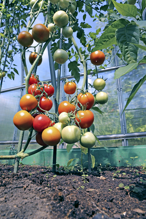 Red and green tomatoes ripening on the bush in a greenhouse of transparent polycarbonate Stok Fotoğraf