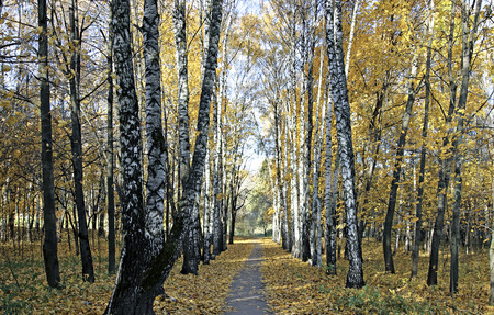 Footpath in park between the birches and maples in autumn