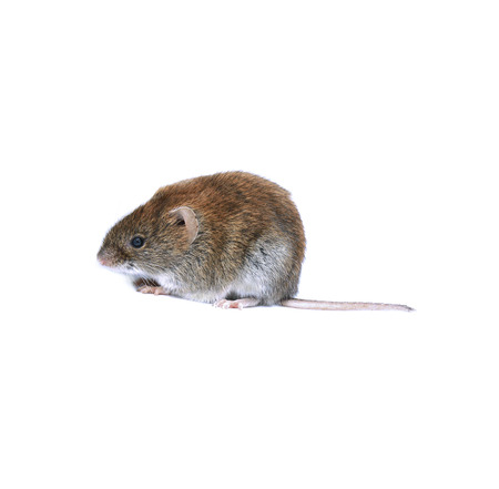 Little brown mouse isolated on white background