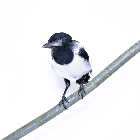 Young magpie chick sitting on the branch Stok Fotoğraf