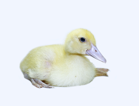 Little cute yellow fluffy duckling on a white background