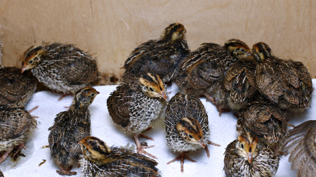 Many small chicks of the quail are running around fussily during feeding