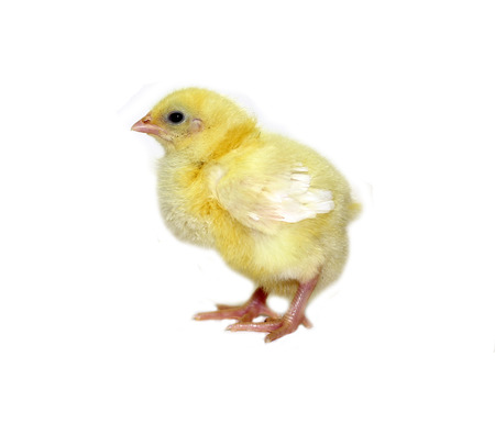Nestling little yellow chick isolated on white background