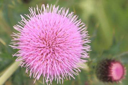 The wild purple flower Stock Photo