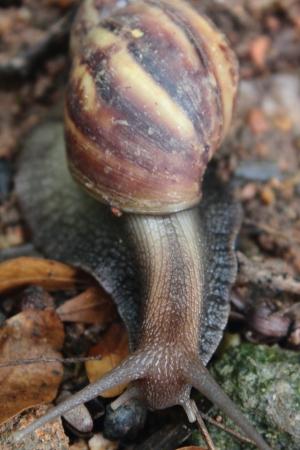 A big snail