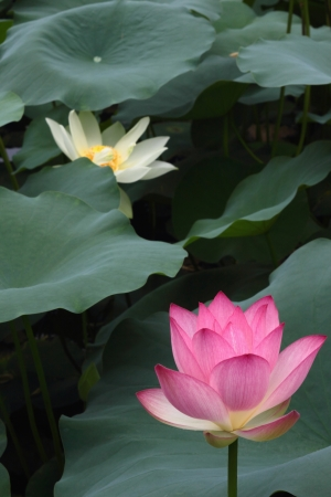 Beautiful lotus Stock Photo - 16656855