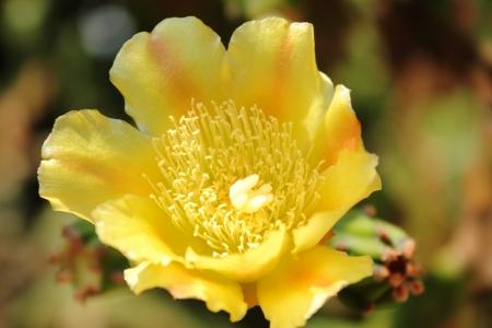 The yellow flower of cactus Stock Photo