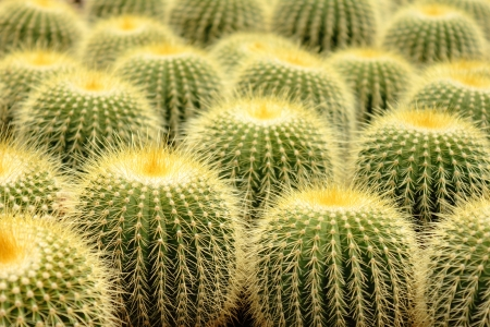 staunch: A cluster of prickly pear