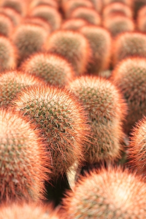 staunch: A cluster of red prickly pears
