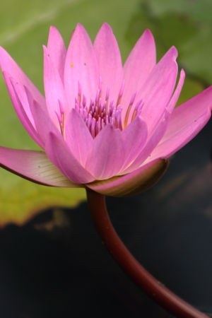 Water lily Stock Photo - 18166364