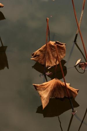 Lotus leaf Stock Photo - 18170240
