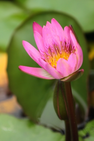 Water lily Stock Photo - 18165977