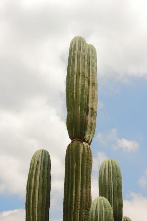 staunch: cactus