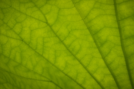 season specific: close up of lotus leaf  Stock Photo