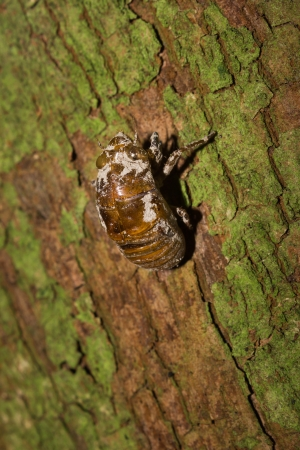 Cicada Slough In The Trunk