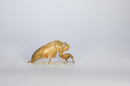 Small Cicada Slough