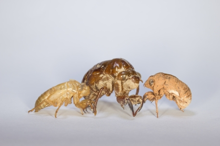 Three Kinds of Cicada Slough Stock Photo