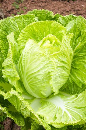 nappa: Nappa Cabbage  Stock Photo