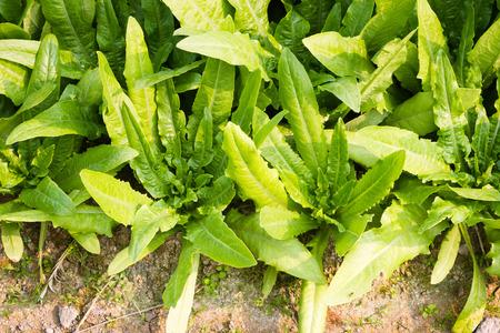 lactuca sativa: Lactuca Sativa