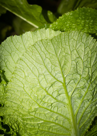 nappa: Nappa Cabbage
