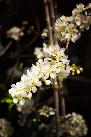 This is a photo of some pear flower, was taken in Yunnan, China. Stock Photo