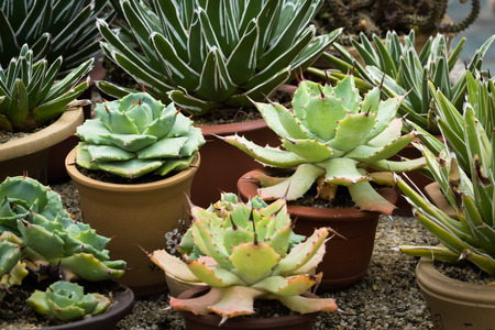 meaty: This is a photo of some kinds of succulent, was taken in Xiamen botanical garden, China.