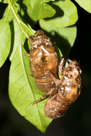 slough: This is a photo of some cicada slough, was taken in XiaMen exhibition garden, China. Stock Photo