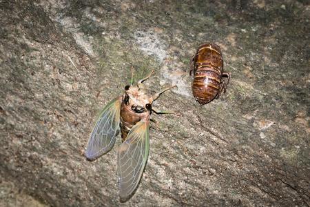 cicada bug: a cicada and cicada slough