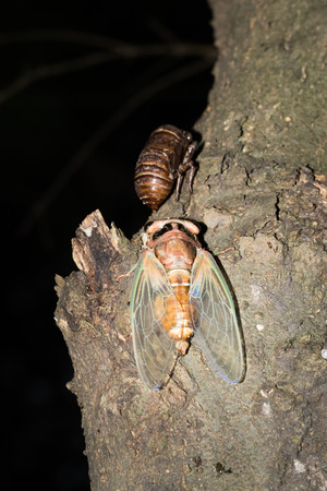 slough: a cicada and cicada slough