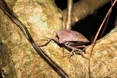 shieldbug: Close up to stinkbug