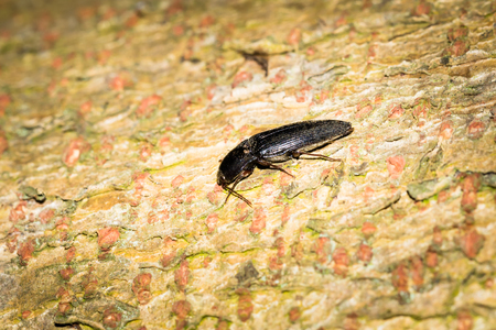 click beetle: This is a photo of a click beetle Stock Photo