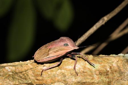 shieldbug: Close up to a stinkbug