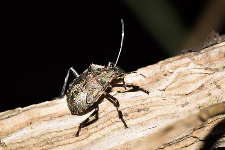 shieldbug: Close up to a stinkbug on a branch Stock Photo