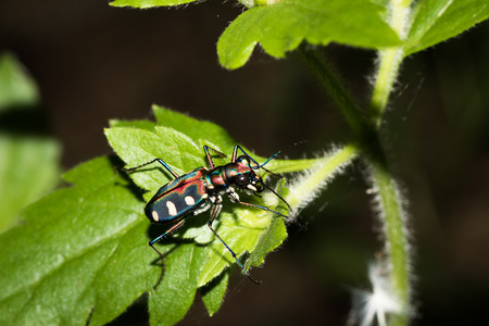 cicindelinae: This is a photo of a tiger beetle Stock Photo