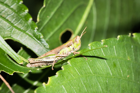 Close up to a grasshopper