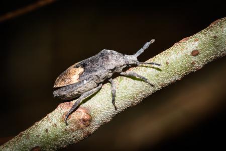 shieldbug: stinkbug Stock Photo