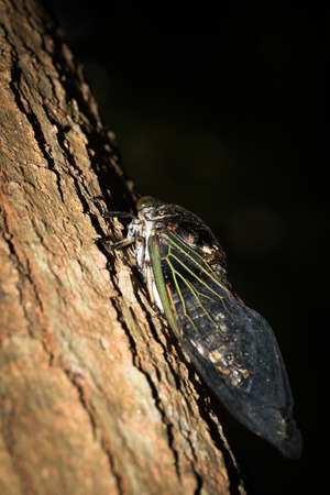 This is a photo of one kind of cicada, was taken in XiaMen botanical garden, China.