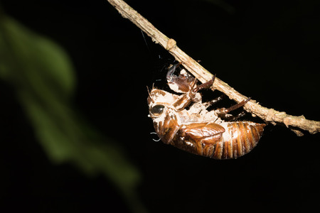 slough: This is a photo a cicada slough, was taken in XiaMen botanical garden, China.