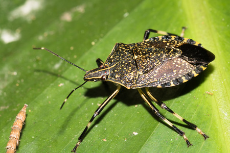 biont: This is a photo of one kind of stinkbug, was taken in XiaMen botanical garden, China.